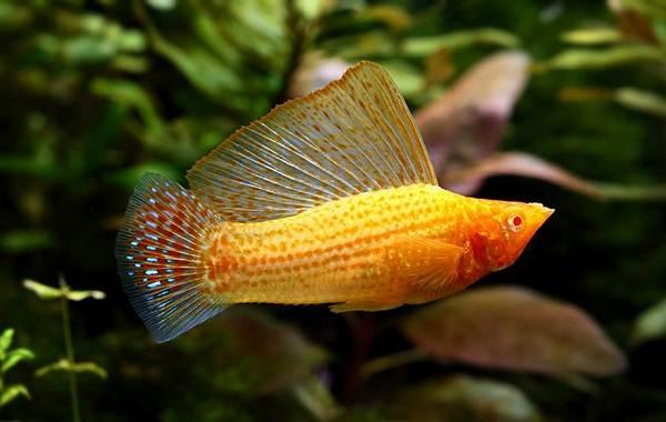 Моллинезия-рыбка-Описание-особенности-виды-уход-совместимость-и-цена-моллинезии-7