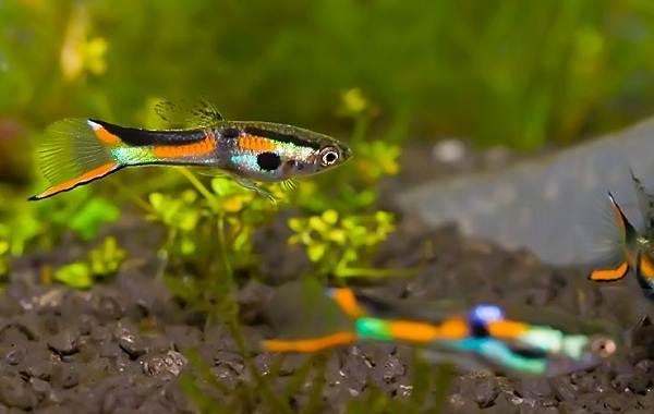 Моллинезия рыбка. Описание, особенности, виды, уход, совместимость и цена моллинезии