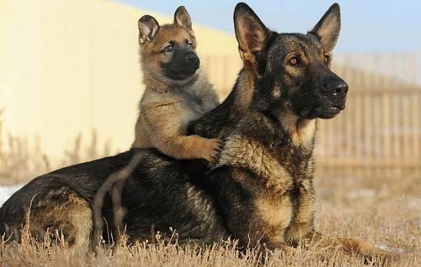 Немецкая-овчарка-собака-Описание-особенности-виды-уход-содержание-и-цена-породы-10