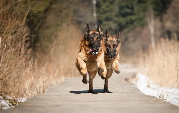 Немецкая-овчарка-собака-Описание-особенности-виды-уход-содержание-и-цена-породы-11