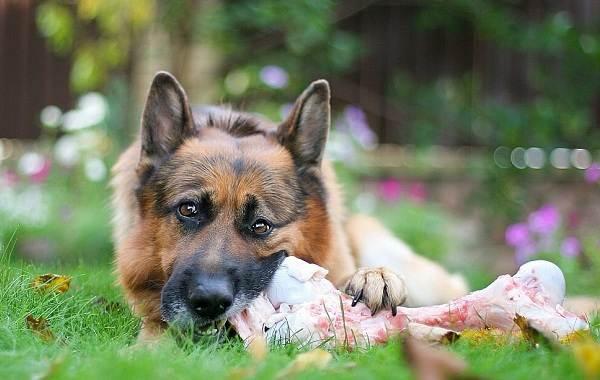 Немецкая-овчарка-собака-Описание-особенности-виды-уход-содержание-и-цена-породы-12