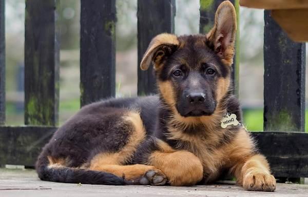 Немецкая-овчарка-собака-Описание-особенности-виды-уход-содержание-и-цена-породы-13