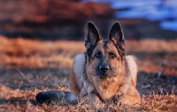 Немецкая-овчарка-собака-Описание-особенности-виды-уход-содержание-и-цена-породы-14