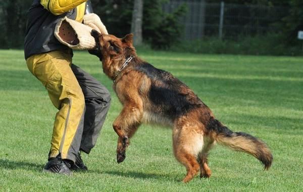 Немецкая-овчарка-собака-Описание-особенности-виды-уход-содержание-и-цена-породы-15