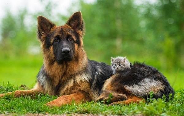Немецкая-овчарка-собака-Описание-особенности-виды-уход-содержание-и-цена-породы-2