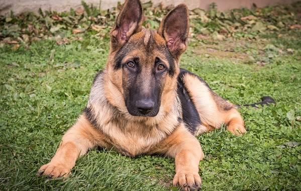 Немецкая-овчарка-собака-Описание-особенности-виды-уход-содержание-и-цена-породы-3