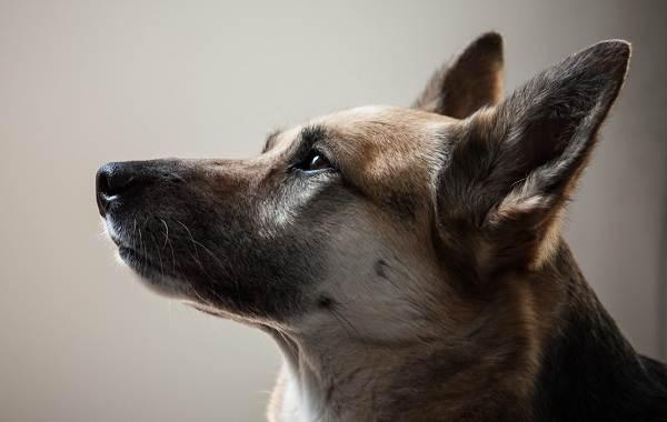 Немецкая овчарка собака. Описание, особенности, виды, уход, содержание и цена породы