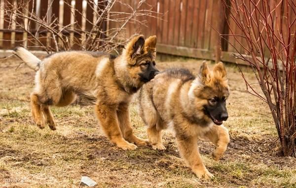 Немецкая-овчарка-собака-Описание-особенности-виды-уход-содержание-и-цена-породы-8