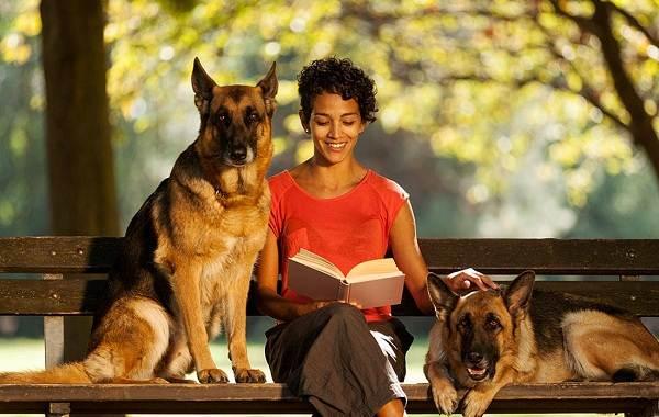 Немецкая-овчарка-собака-Описание-особенности-виды-уход-содержание-и-цена-породы-9