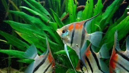 Скалярия рыба. Описание, особенности, виды, уход, содержание и цена скалярии
