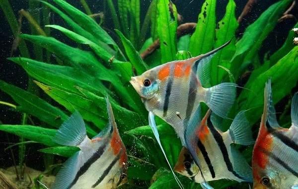 Скалярия-рыба-Описание-особенности-виды-уход-содержание-и-цена-скалярии-1