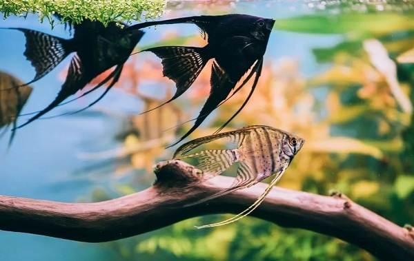 Скалярия-рыба-Описание-особенности-виды-уход-содержание-и-цена-скалярии-10