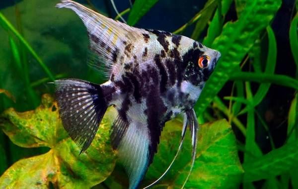Скалярия-рыба-Описание-особенности-виды-уход-содержание-и-цена-скалярии-11