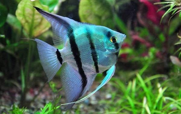 Скалярия-рыба-Описание-особенности-виды-уход-содержание-и-цена-скалярии-13
