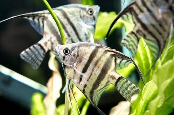 Скалярия-рыба-Описание-особенности-виды-уход-содержание-и-цена-скалярии-14