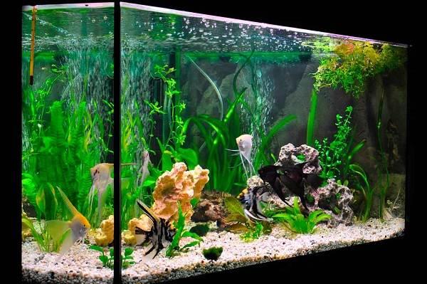 Скалярия-рыба-Описание-особенности-виды-уход-содержание-и-цена-скалярии-15
