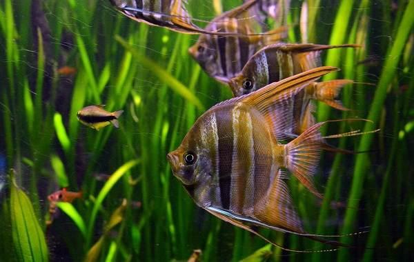 Скалярия-рыба-Описание-особенности-виды-уход-содержание-и-цена-скалярии-17