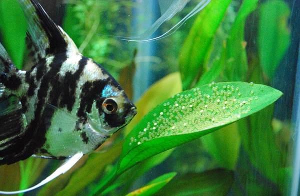 Скалярия-рыба-Описание-особенности-виды-уход-содержание-и-цена-скалярии-18