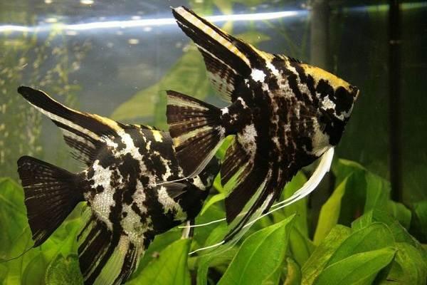 Скалярия-рыба-Описание-особенности-виды-уход-содержание-и-цена-скалярии-19