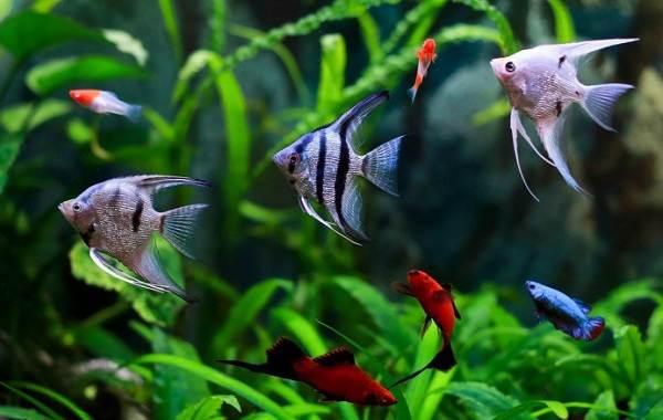 Скалярия-рыба-Описание-особенности-виды-уход-содержание-и-цена-скалярии-2
