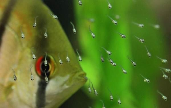 Скалярия-рыба-Описание-особенности-виды-уход-содержание-и-цена-скалярии-21