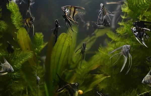 Скалярия-рыба-Описание-особенности-виды-уход-содержание-и-цена-скалярии-22