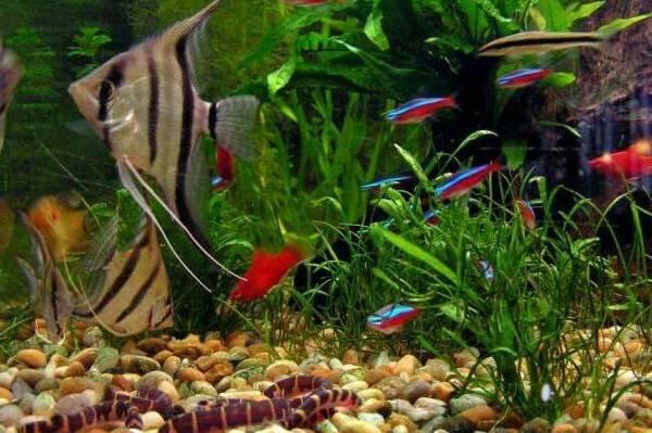 Скалярия-рыба-Описание-особенности-виды-уход-содержание-и-цена-скалярии-23