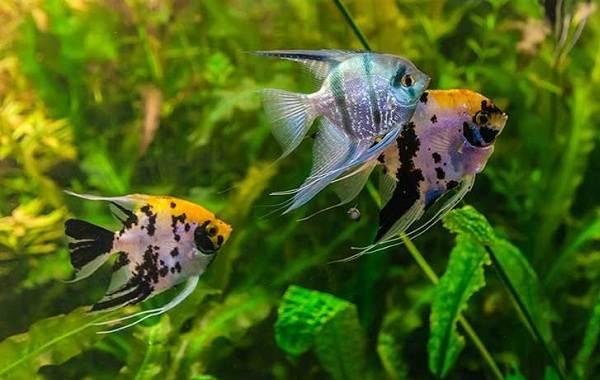 Скалярия-рыба-Описание-особенности-виды-уход-содержание-и-цена-скалярии-3