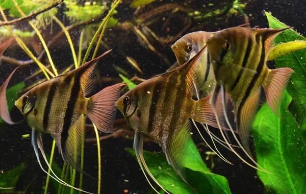 Скалярия-рыба-Описание-особенности-виды-уход-содержание-и-цена-скалярии-4