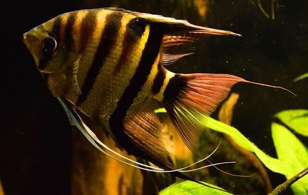 Скалярия-рыба-Описание-особенности-виды-уход-содержание-и-цена-скалярии-6