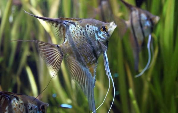 Скалярия-рыба-Описание-особенности-виды-уход-содержание-и-цена-скалярии-7