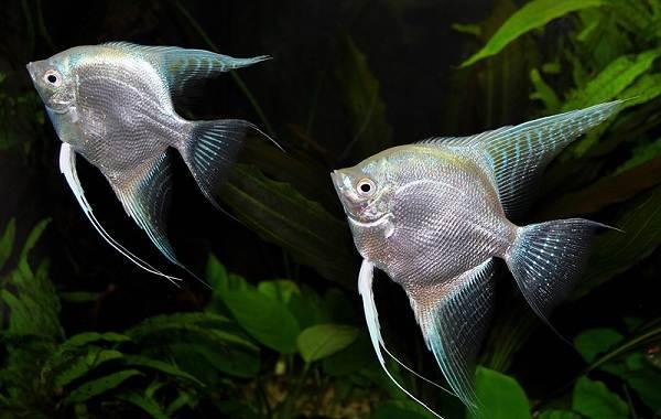 Скалярия-рыба-Описание-особенности-виды-уход-содержание-и-цена-скалярии-8