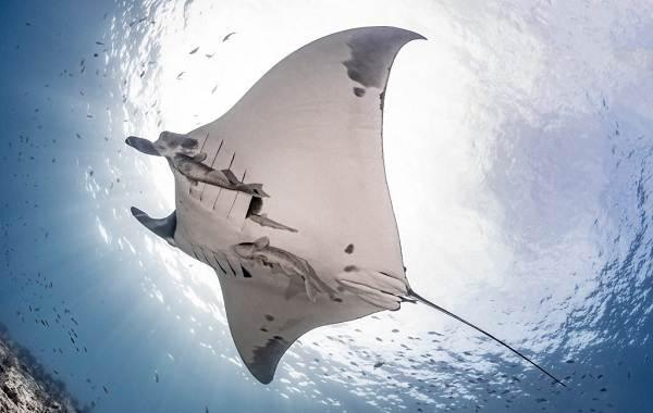 Скат-манта-рыба-Описание-особенности-виды-образ-жизни-и-среда-обитания-ската-манта-1