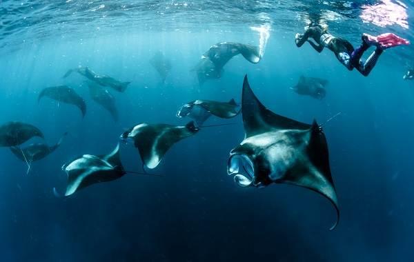 Скат-манта-рыба-Описание-особенности-виды-образ-жизни-и-среда-обитания-ската-манта-12