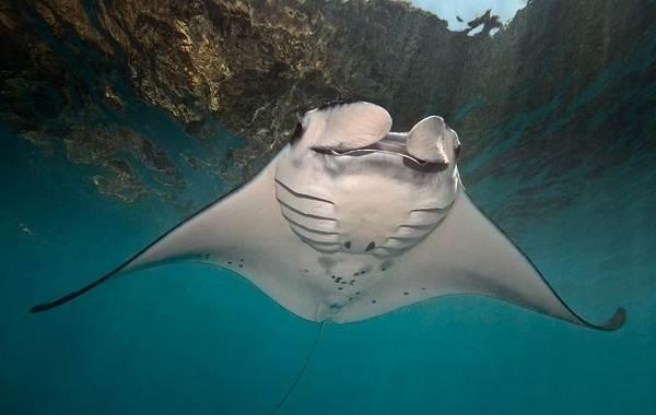Скат-манта-рыба-Описание-особенности-виды-образ-жизни-и-среда-обитания-ската-манта-13
