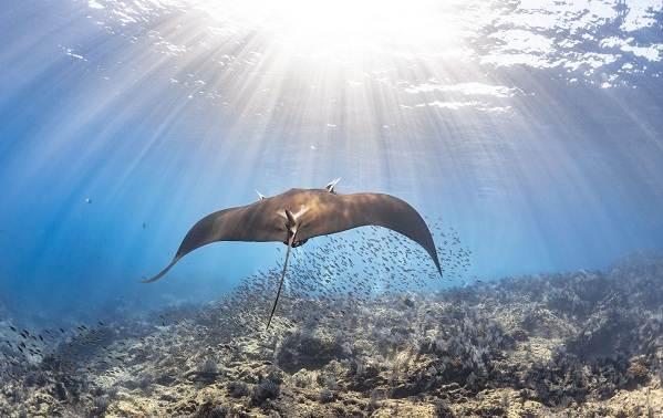 Скат-манта-рыба-Описание-особенности-виды-образ-жизни-и-среда-обитания-ската-манта-14