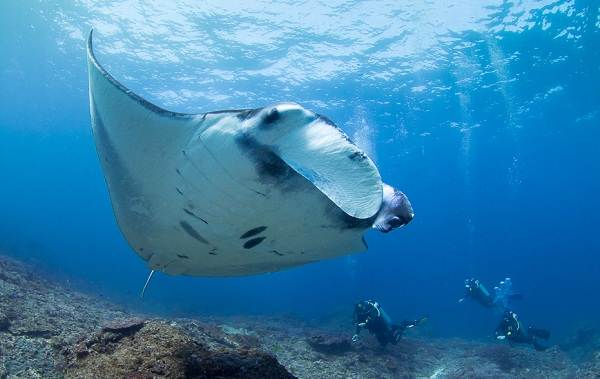 Скат-манта-рыба-Описание-особенности-виды-образ-жизни-и-среда-обитания-ската-манта-2