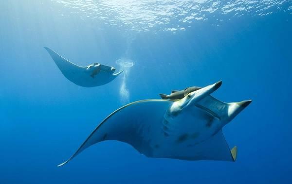 Скат-манта-рыба-Описание-особенности-виды-образ-жизни-и-среда-обитания-ската-манта-3