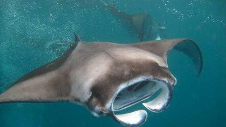Скат манта рыба. Описание, особенности, виды, образ жизни и среда обитания ската манта