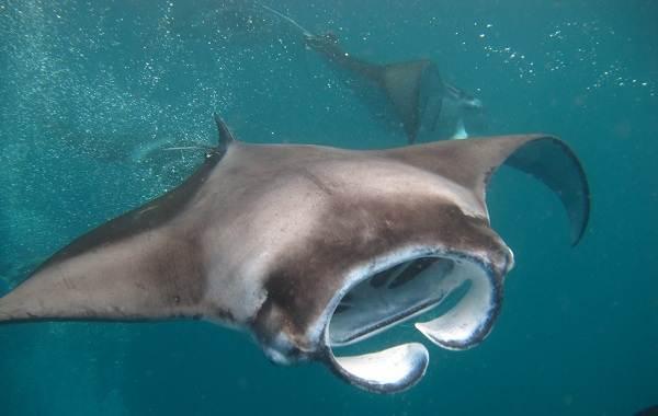 Скат-манта-рыба-Описание-особенности-виды-образ-жизни-и-среда-обитания-ската-манта-5