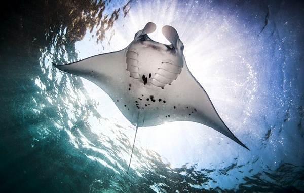 Скат-манта-рыба-Описание-особенности-виды-образ-жизни-и-среда-обитания-ската-манта-7