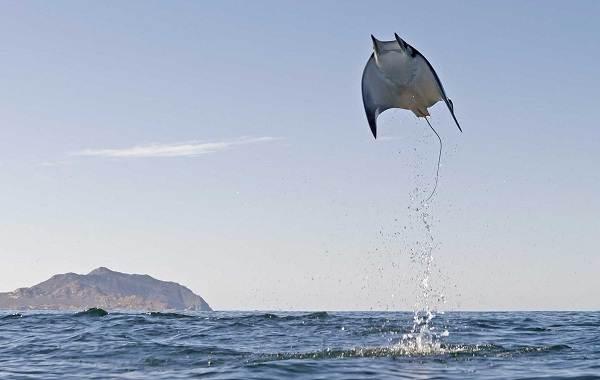 Скат-манта-рыба-Описание-особенности-виды-образ-жизни-и-среда-обитания-ската-манта-8