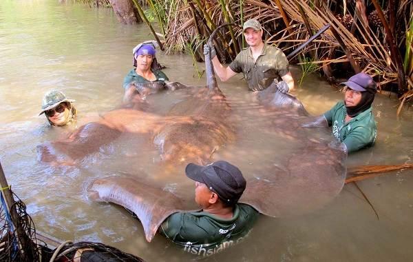 Скат-манта-рыба-Описание-особенности-виды-образ-жизни-и-среда-обитания-ската-манта-9