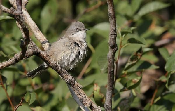 Славка-птица-Описание-особенности-виды-образ-жизни-и-среда-обитания-славки-1
