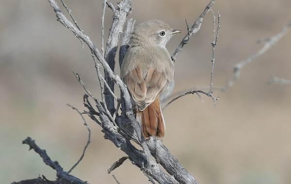 Славка-птица-Описание-особенности-виды-образ-жизни-и-среда-обитания-славки-13