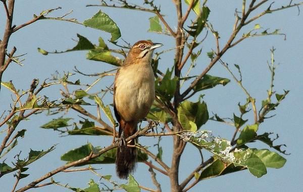 Славка-птица-Описание-особенности-виды-образ-жизни-и-среда-обитания-славки-15