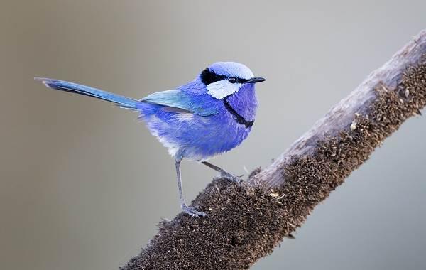 Славка-птица-Описание-особенности-виды-образ-жизни-и-среда-обитания-славки-16