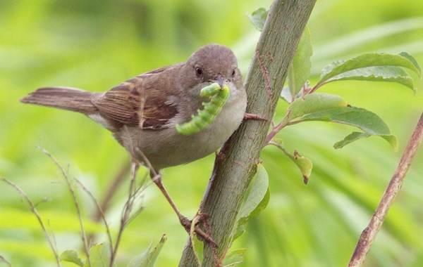 Славка-птица-Описание-особенности-виды-образ-жизни-и-среда-обитания-славки-18