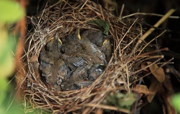 Славка-птица-Описание-особенности-виды-образ-жизни-и-среда-обитания-славки-20
