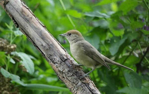 Славка-птица-Описание-особенности-виды-образ-жизни-и-среда-обитания-славки-3